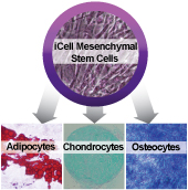 Applications: iCell Mesenchymal Stem Cells Differentiation Protocols
