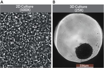 Fig1_iCellHepatocytes_2D&3DCulture