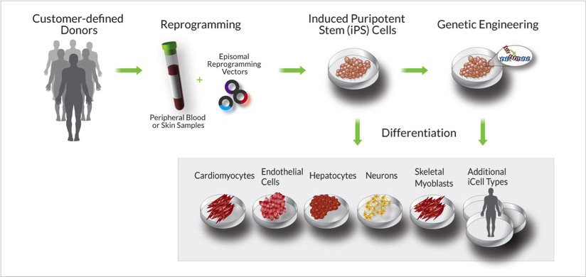 The MyCell Process Samples of either peripheral blood or skin samples are received from the customer, typically as PBMC isolates . These cells are reprogrammed using a footprint-free episomal method to produce an expandable population of iPS cells. Genetic engineering can be included in the project scope to produce your desired genotype. The iPS Cells are then differentiated into a range of terminally differentiated cell types. Please contact us for additional details and to discuss the specifics of your project.