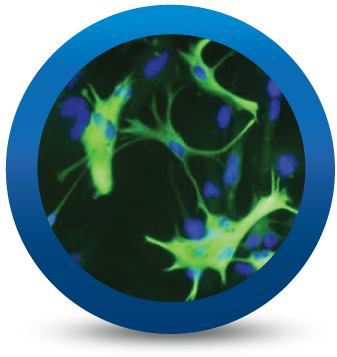 iCell Astrocytes