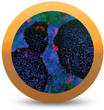 Trending: Now Available! iCell Hepatoblasts